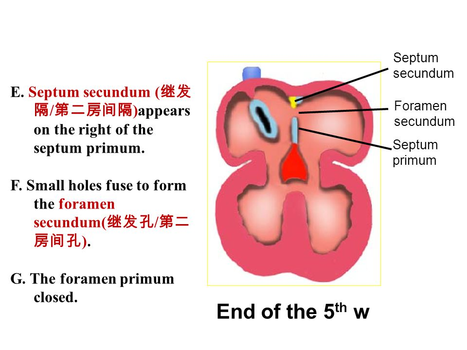 End of the 5 th w Septum primum Foramen secundum E. Septum secundum ( 继发 隔 / 第二房间隔 )appears on the right of the septum primum. F. Small holes fuse to