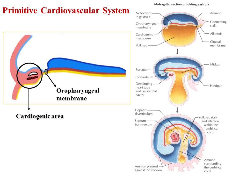 Cardiogenic area Oropharyngeal membrane Primitive Cardiovascular System