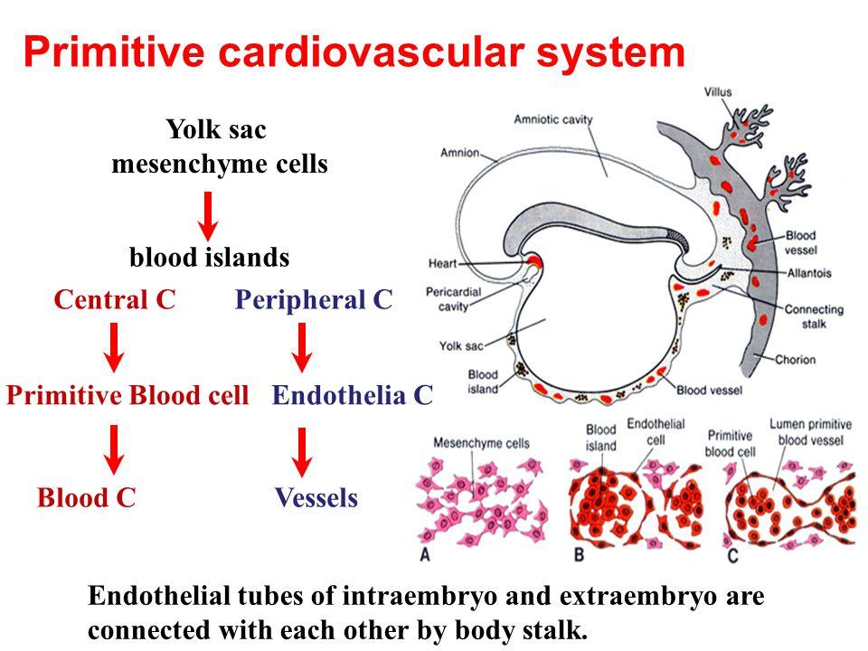 Primitive cardiovascular system Yolk sac mesenchyme cells blood islands Central C Peripheral C Primitive Blood cell Endothelia C Blood C Vessels Endothelial tubes of intraembryo and extraembryo are connected with each other by body stalk.
