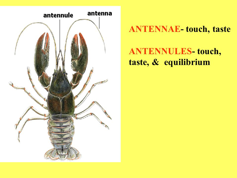 ANTENNAE- touch, taste ANTENNULES- touch, taste, & equilibrium