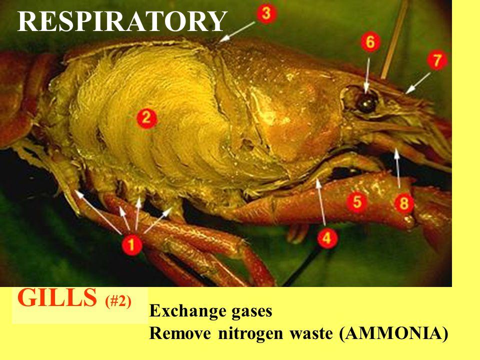 GILLS (#2) RESPIRATORY Exchange gases Remove nitrogen waste (AMMONIA)