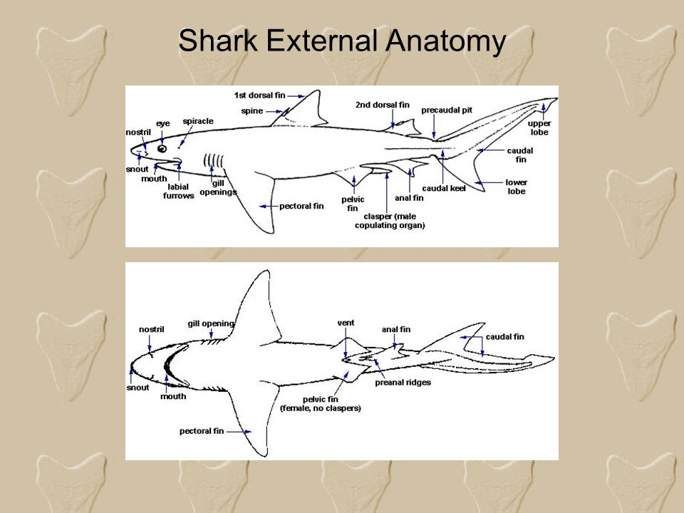 Shark External Anatomy