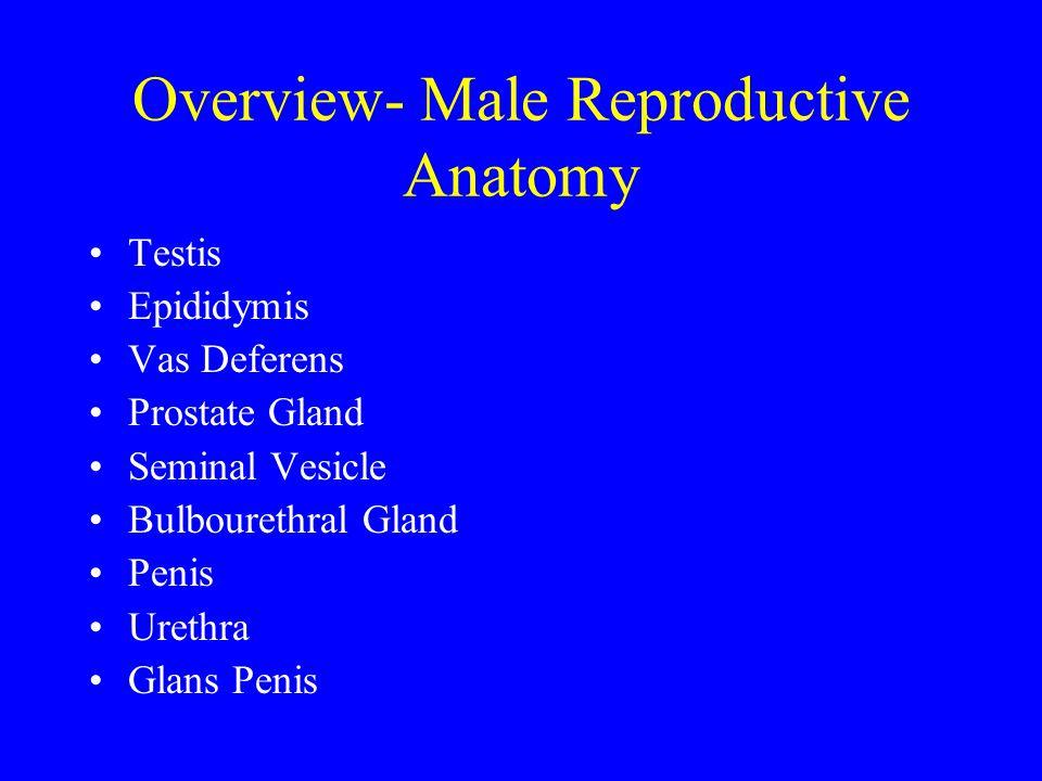 Overview- Male Reproductive Anatomy Testis Epididymis Vas Deferens Prostate Gland Seminal Vesicle Bulbourethral Gland Penis Urethra Glans Penis