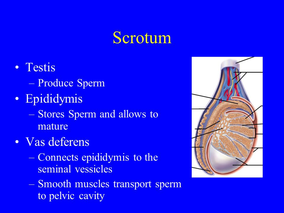 Scrotum Testis –Produce Sperm Epididymis –Stores Sperm and allows to mature Vas deferens –Connects epididymis to the seminal vessicles –Smooth muscles transport sperm to pelvic cavity