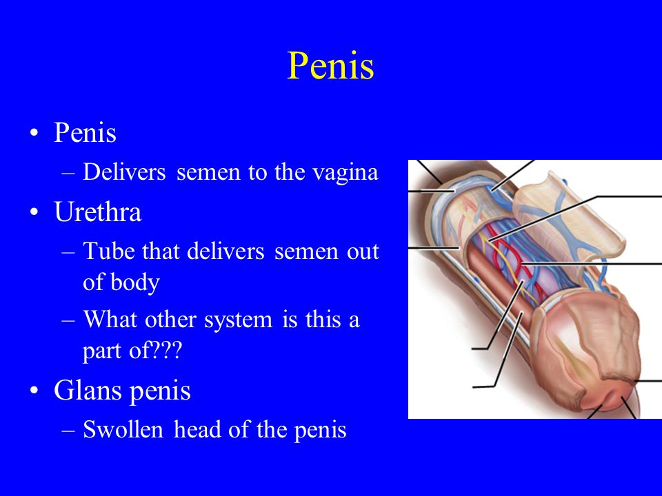 Penis –Delivers semen to the vagina Urethra –Tube that delivers semen out of body –What other system is this a part of??.