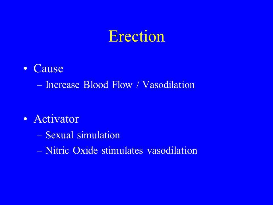 Erection Cause –Increase Blood Flow / Vasodilation Activator –Sexual simulation –Nitric Oxide stimulates vasodilation
