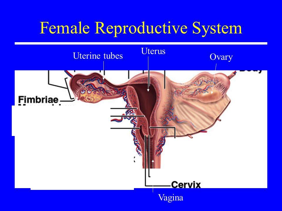 Female Reproductive System Ovary Uterine tubes Uterus Vagina