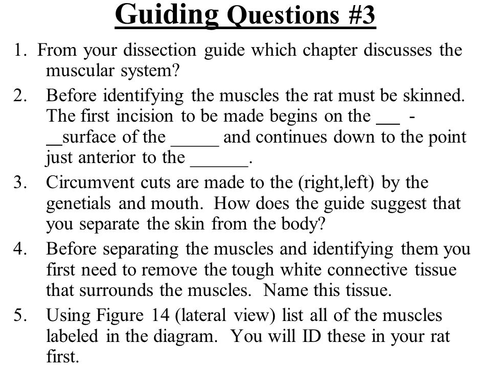 Guiding Questions #3 1. From your dissection guide which chapter discusses the muscular system? 2.Before identifying the muscles the rat must be skinn