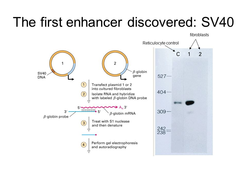 The first enhancer discovered: SV40 Reticulocyte control fibroblasts