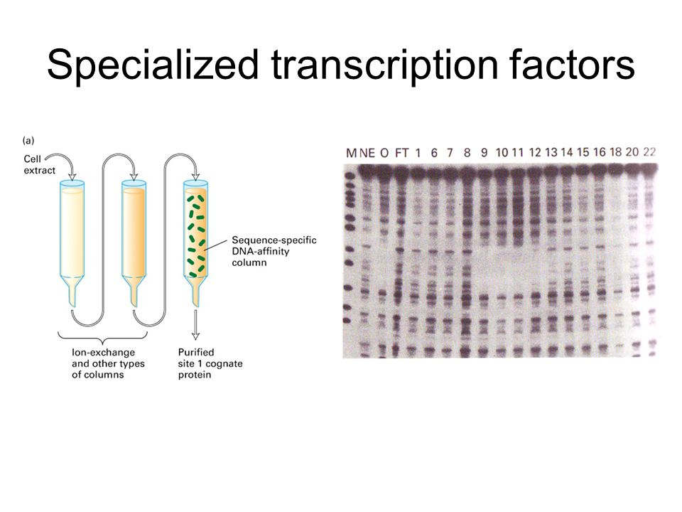 Specialized transcription factors