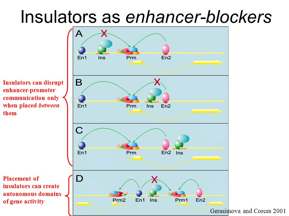 Insulators as enhancer-blockers Gerasimova and Corces 2001 Insulators can disrupt enhancer-promoter communication only when placed between them Placem