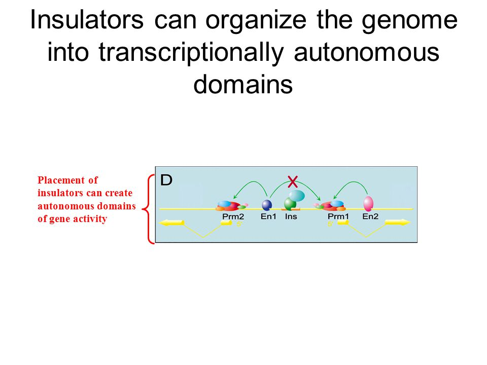 Insulators can organize the genome into transcriptionally autonomous domains Placement of insulators can create autonomous domains of gene activity