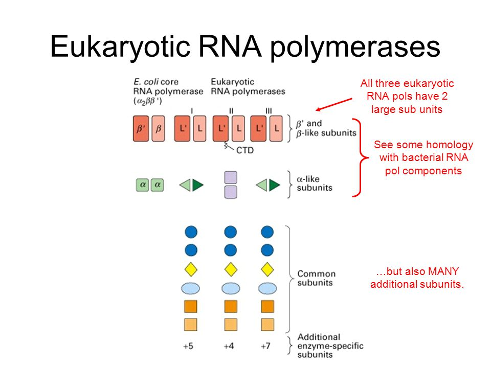 All three eukaryotic RNA pols have 2 large sub units See some homology with bacterial RNA pol components …but also MANY additional subunits.