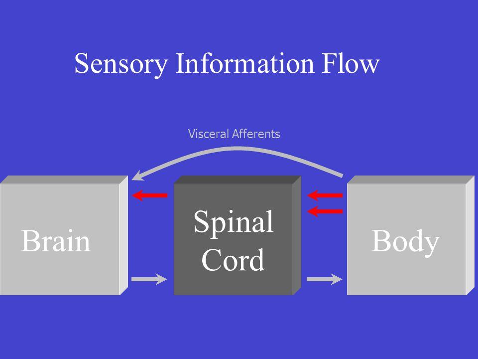 Sensory Information Flow Brain Spinal Cord Body Visceral Afferents