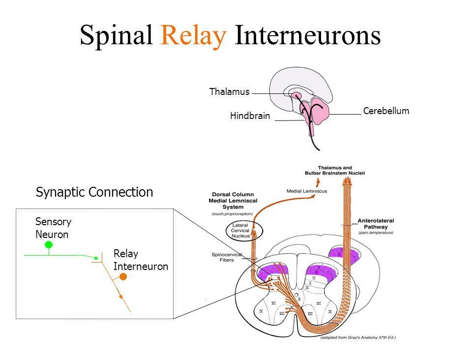 Spinal Relay Interneurons Thalamus Hindbrain Cerebellum Sensory Neuron Relay Interneuron Synaptic Connection