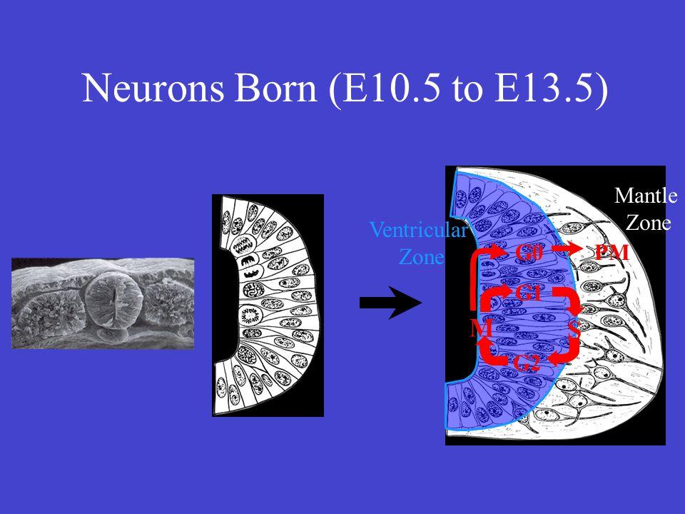 Ventricular Zone Mantle Zone S M G1 G2 PMG0 Neurons Born (E10.5 to E13.5)