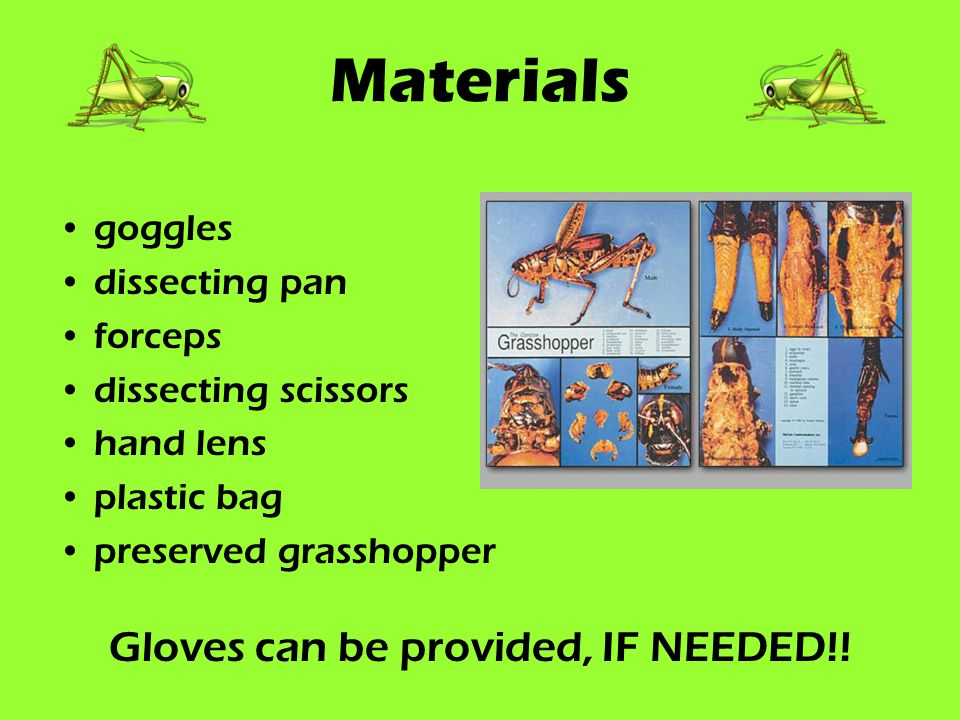 Materials goggles dissecting pan forceps dissecting scissors hand lens plastic bag preserved grasshopper Gloves can be provided, IF NEEDED!!