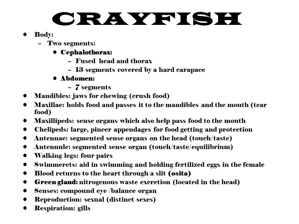 CRAYFISH Body: –Two segments: Cephalothorax: –Fused head and thorax –13 segments covered by a hard carapace Abdomen: –7 segments Mandibles: jaws for chewing (crush food) Maxillae: holds food and passes it to the mandibles and the mouth (tear food) Maxillipeds: sense organs which also help pass food to the mouth Chelipeds: large, pincer appendages for food getting and protection Antennae: segmented sense organs on the head (touch/taste) Antennule: segmented sense organ (touch/taste/equilibrium) Walking legs: four pairs Swimmerets: aid in swimming and holding fertilized eggs in the female Blood returns to the heart through a slit (osita) Green gland: nitrogenous waste excretion (located in the head) Senses: compound eye /balance organ Reproduction: sexual (distinct sexes) Respiration: gills