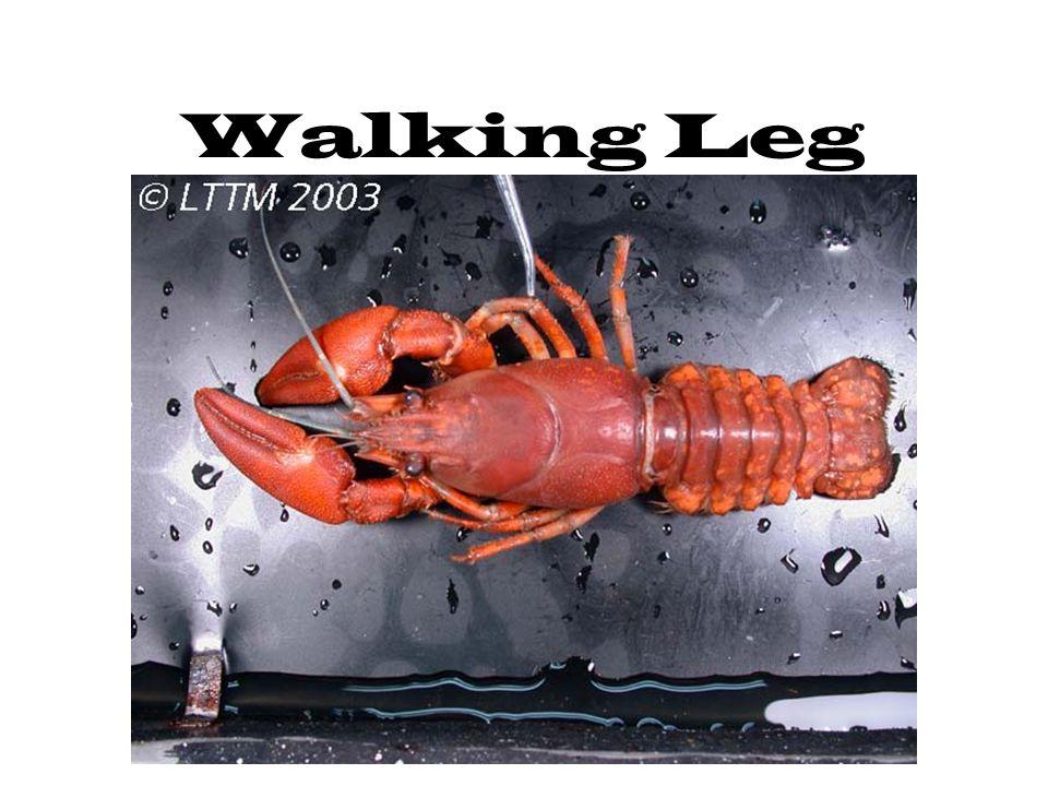 Walking Leg
