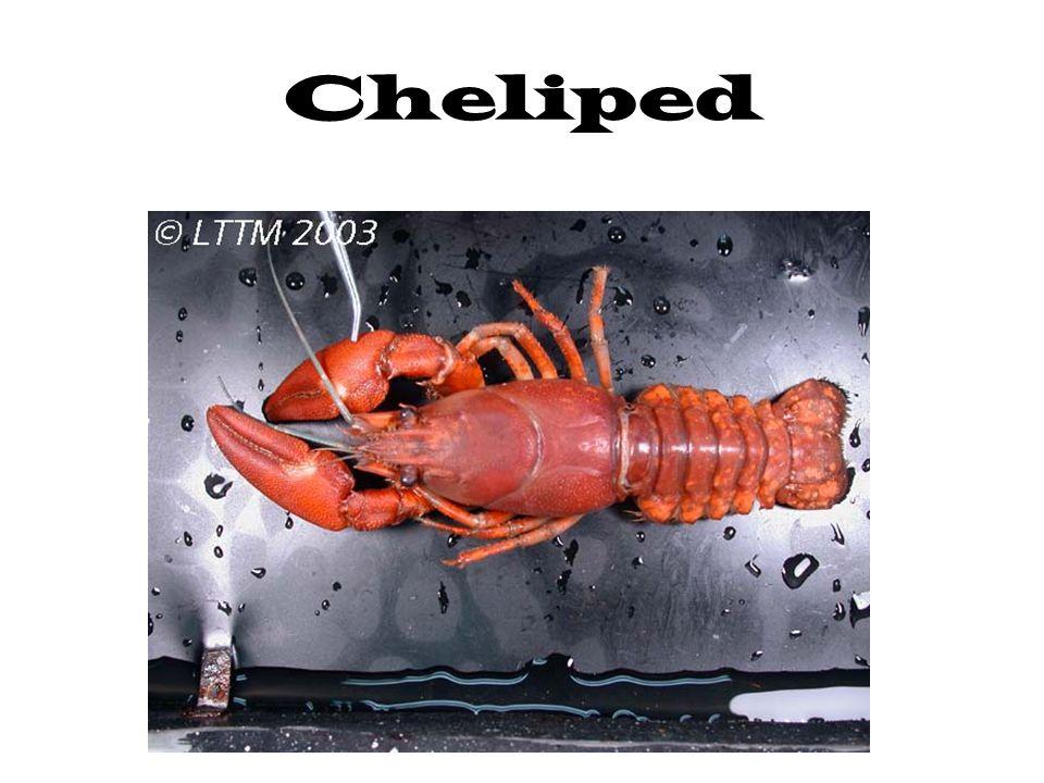 Cheliped