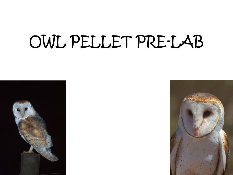OWL PELLET Barn owls usually eat small ground mammals such as voles, shrews, and mice.