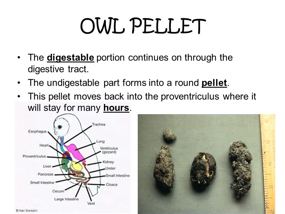 OWL PELLET The digestable portion continues on through the digestive tract. The undigestable part forms into a round pellet. This pellet moves back in