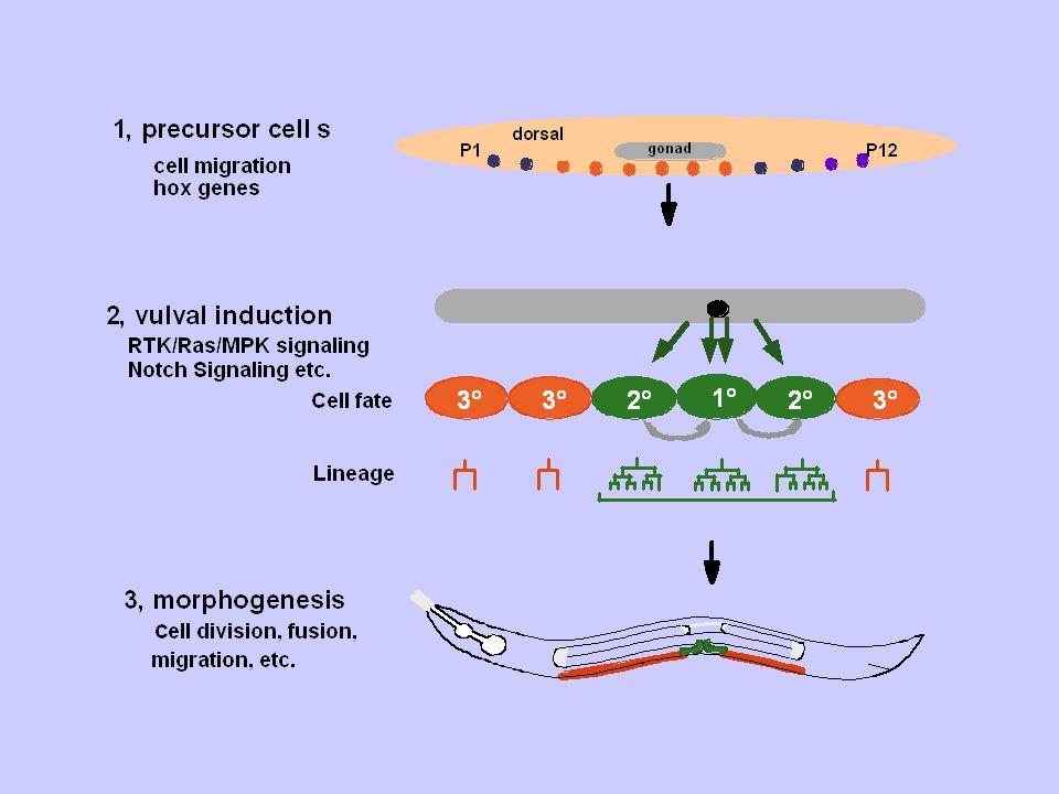 Figure.8.3. The sexes of self-fertilized and cross-fertilized C.