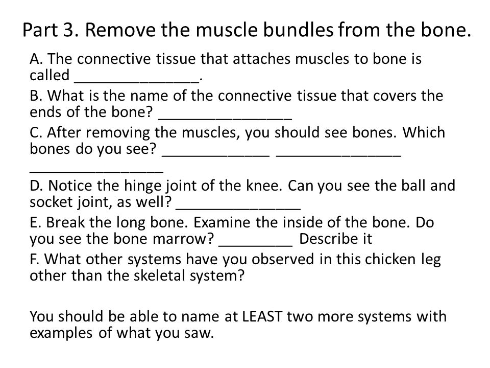 Part 3. Remove the muscle bundles from the bone. A.