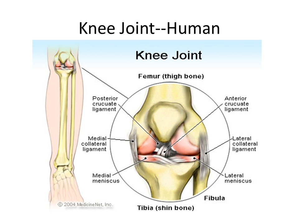 Knee Joint--Human