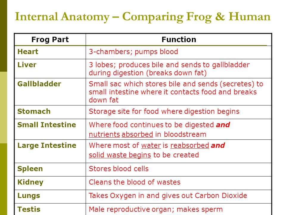 Internal Anatomy – Comparing Frog & Human Frog PartFunction Heart3-chambers; pumps blood Liver3 lobes; produces bile and sends to gallbladder during d