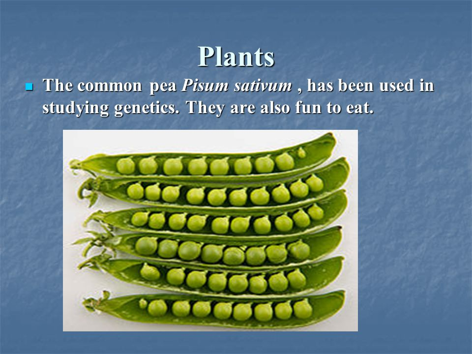 Plants The common pea Pisum sativum, has been used in studying genetics. They are also fun to eat. The common pea Pisum sativum, has been used in stud