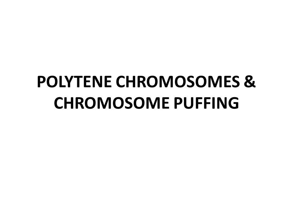 POLYTENE CHROMOSOMES & CHROMOSOME PUFFING