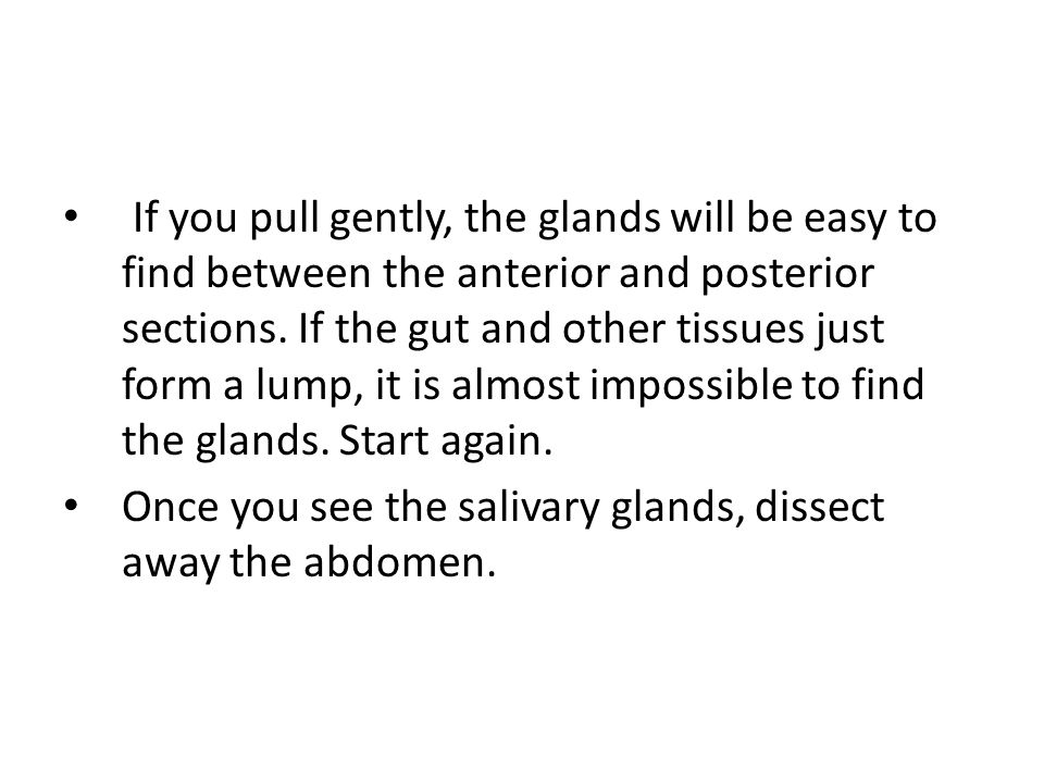 If you pull gently, the glands will be easy to find between the anterior and posterior sections. If the gut and other tissues just form a lump, it is
