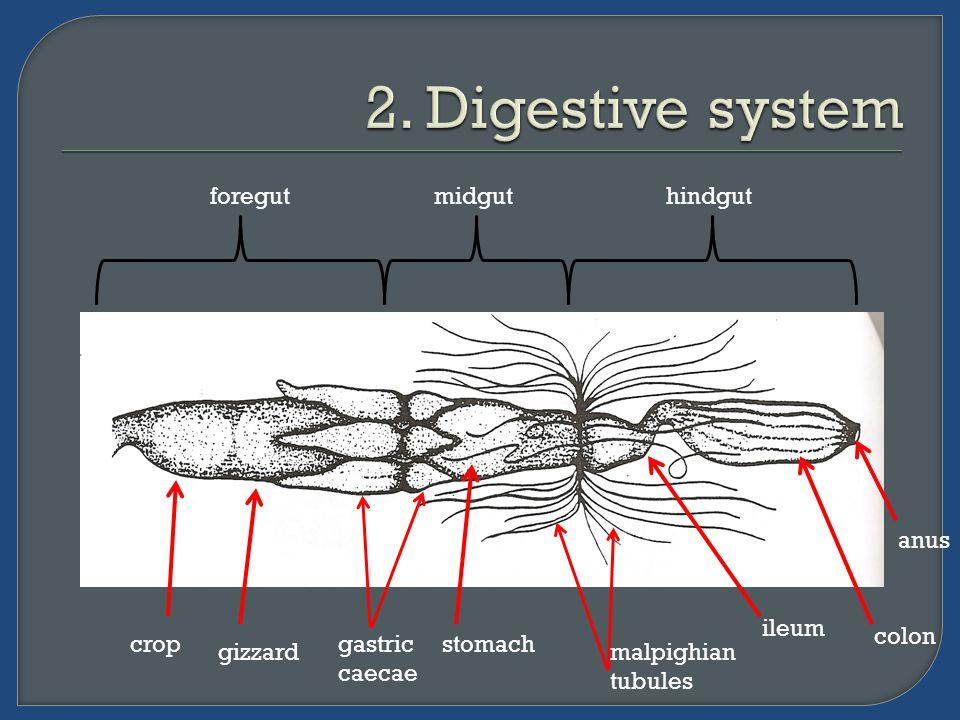 foregutmidguthindgut crop gizzard gastric caecae stomach malpighian tubules ileum colon anus
