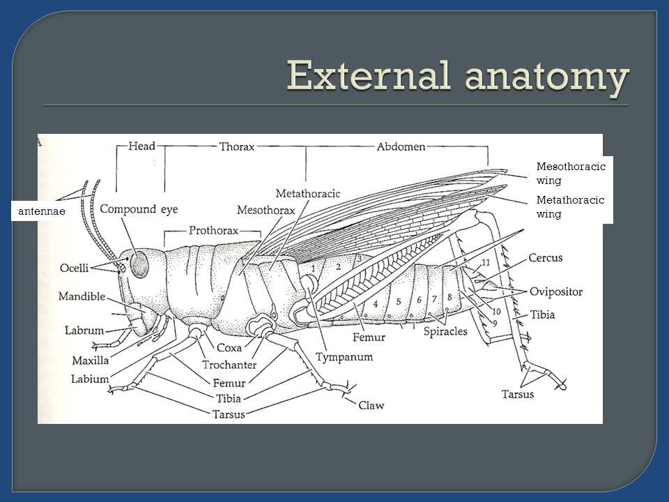 Mesothoracic wing Metathoracic wing - antennae