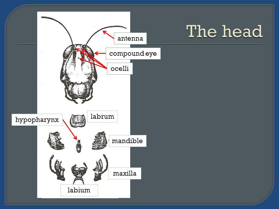 antenna compound eye mandible maxilla labium ocelli filler hypopharynx labrum