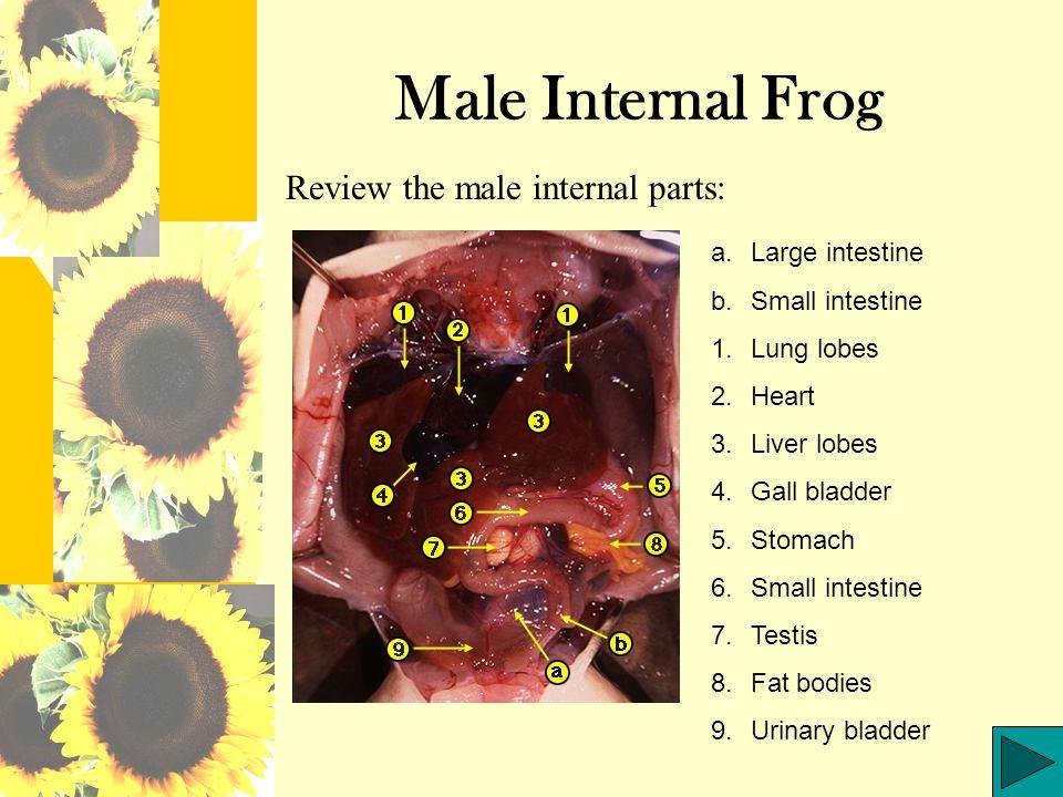 Internal Frog Oral Cavity Study the internal frog cavity below: a.Esophagus opening b.Vomerine teeth 1.Groove of the maxilla 2.Maxillary teeth 3.Internal nare 4.Eye ball 5.Eustacian tube opening 6.Jaw ridge 7.Underside of the tongue 8.Glottis 9.