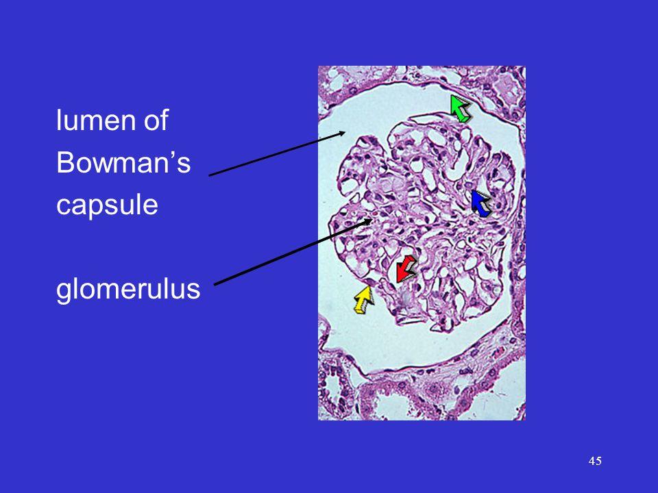 45 lumen of Bowman's capsule glomerulus