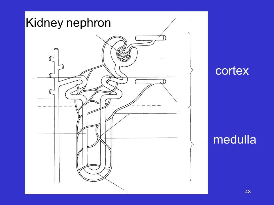 48 cortex medulla Kidney nephron