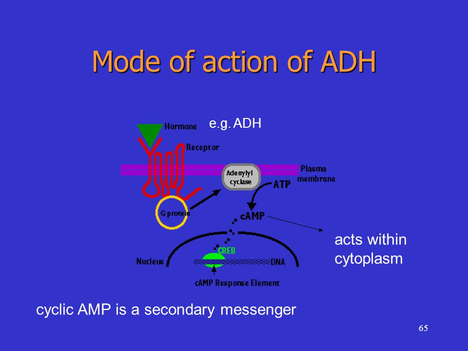 65 Mode of action of ADH acts within cytoplasm e.g. ADH cyclic AMP is a secondary messenger