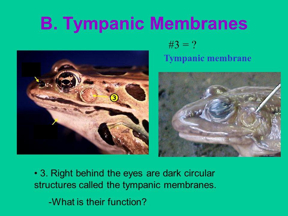 B.Tympanic Membranes #3 = . Tympanic membrane 3.