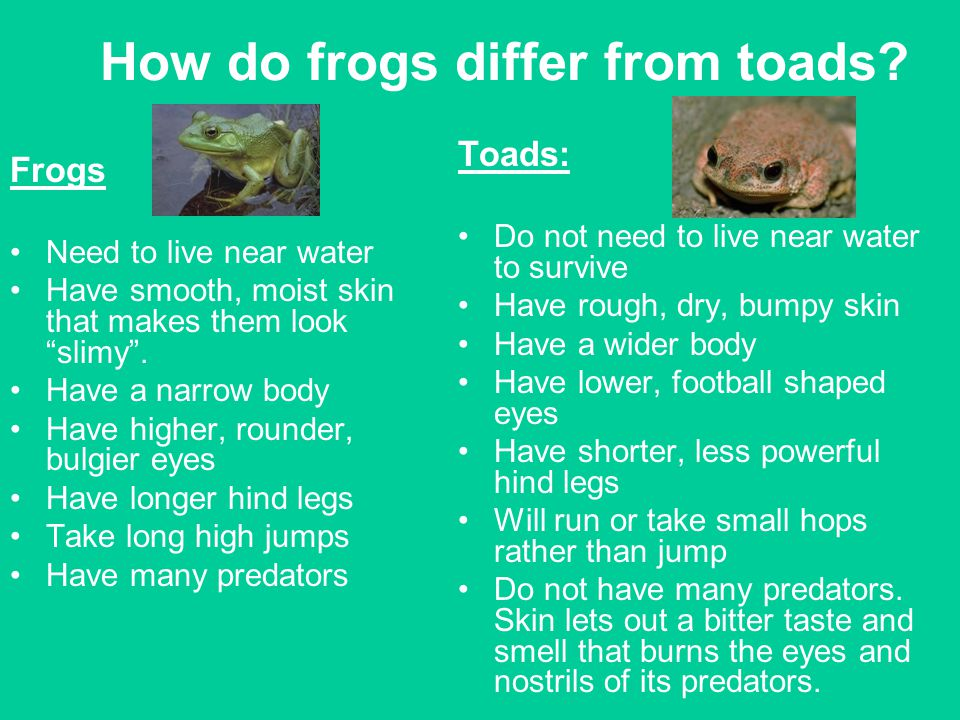 "How do frogs differ from toads? Frogs Need to live near water Have smooth, moist skin that makes them look ""slimy"". Have a narrow body Have higher, ro"
