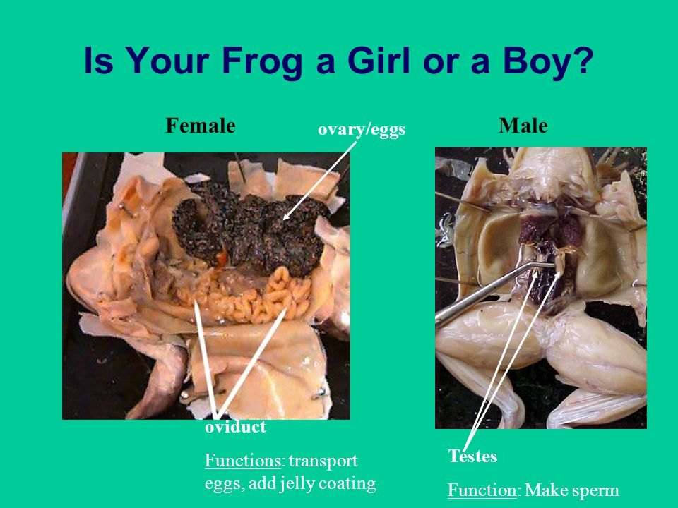 Is Your Frog a Girl or a Boy? FemaleMale ovary/eggs oviduct Functions: transport eggs, add jelly coating Testes Function: Make sperm