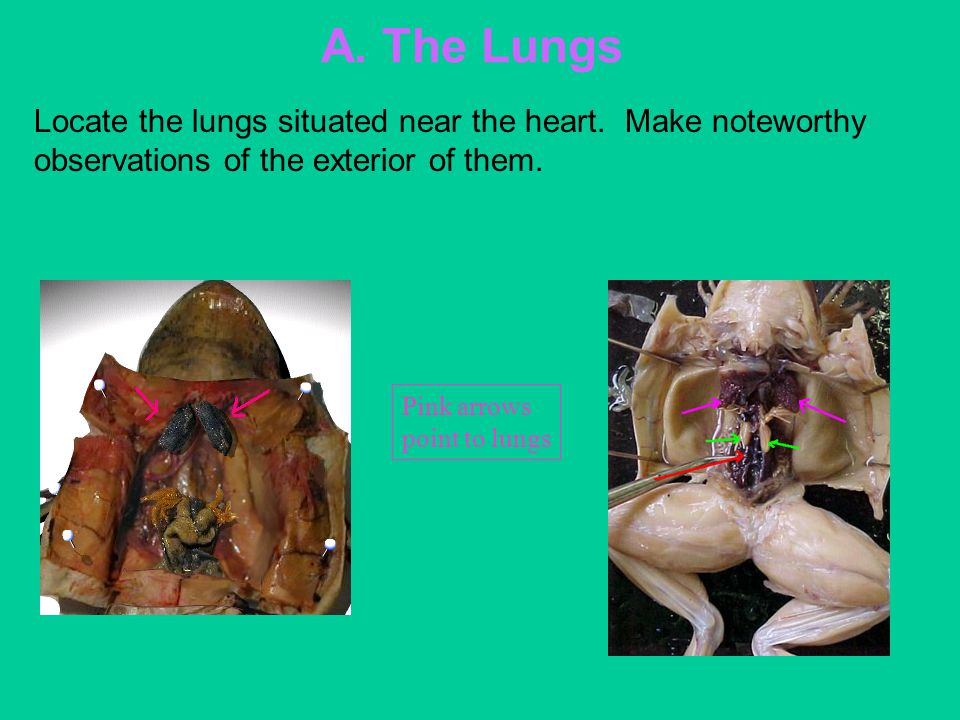 A. The Lungs Locate the lungs situated near the heart. Make noteworthy observations of the exterior of them. Pink arrows point to lungs
