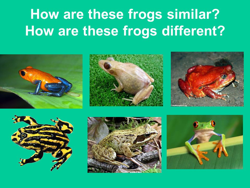 How are these frogs similar? How are these frogs different?