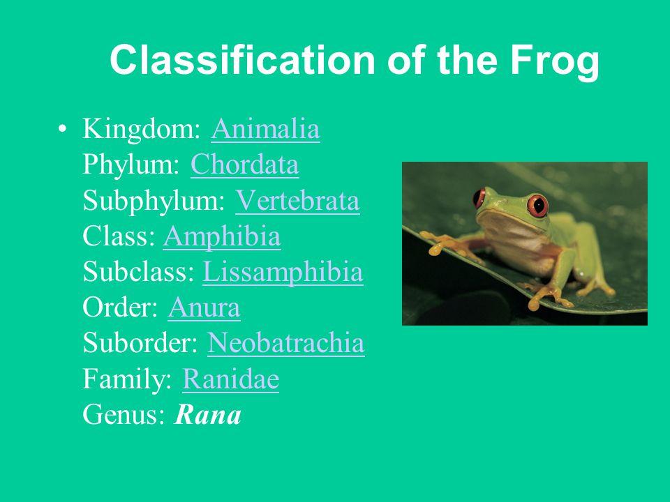 Classification of the Frog Kingdom: Animalia Phylum: Chordata Subphylum: Vertebrata Class: Amphibia Subclass: Lissamphibia Order: Anura Suborder: Neobatrachia Family: Ranidae Genus: RanaAnimaliaChordataVertebrataAmphibiaLissamphibiaAnuraNeobatrachiaRanidae