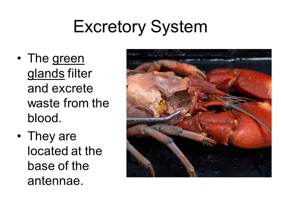 Excretory System The green glands filter and excrete waste from the blood. They are located at the base of the antennae.