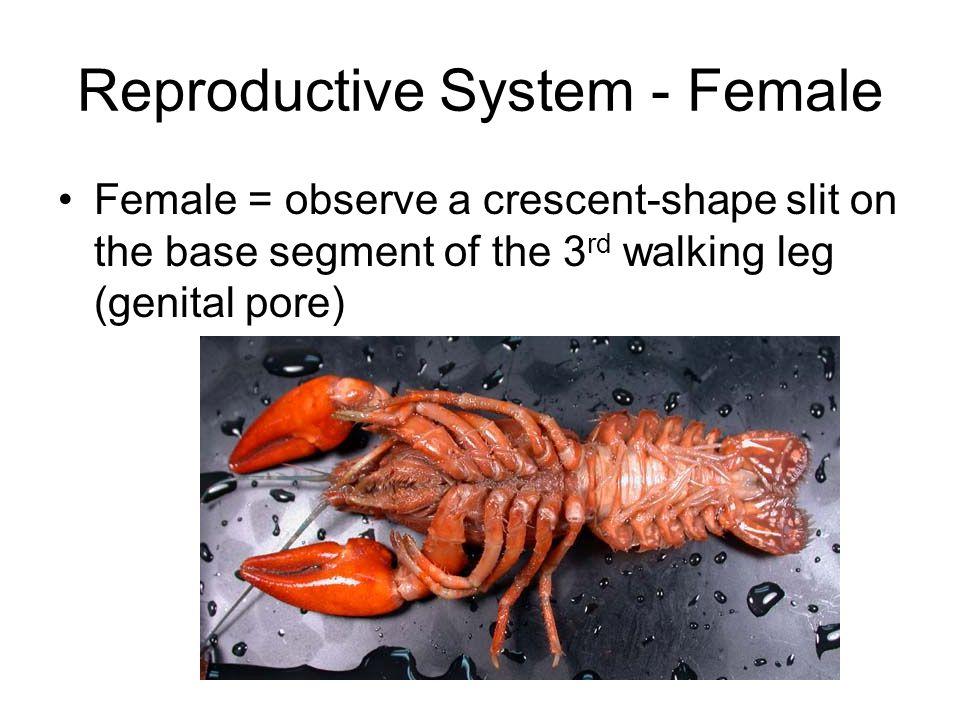 Reproductive System - Female Female = observe a crescent-shape slit on the base segment of the 3 rd walking leg (genital pore)