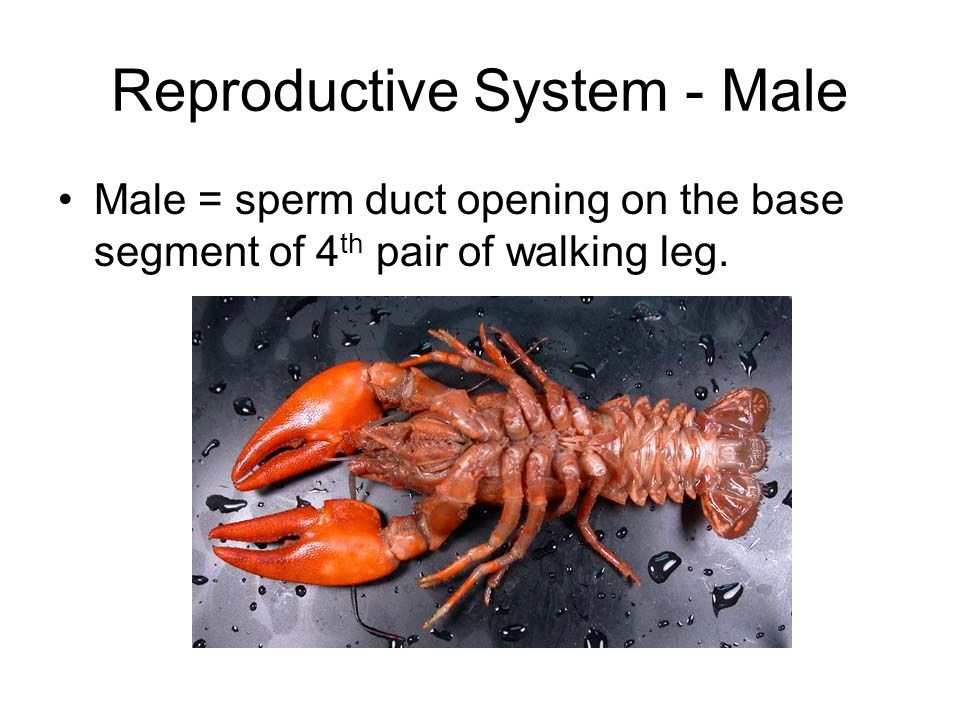 Reproductive System - Male Male = sperm duct opening on the base segment of 4 th pair of walking leg.