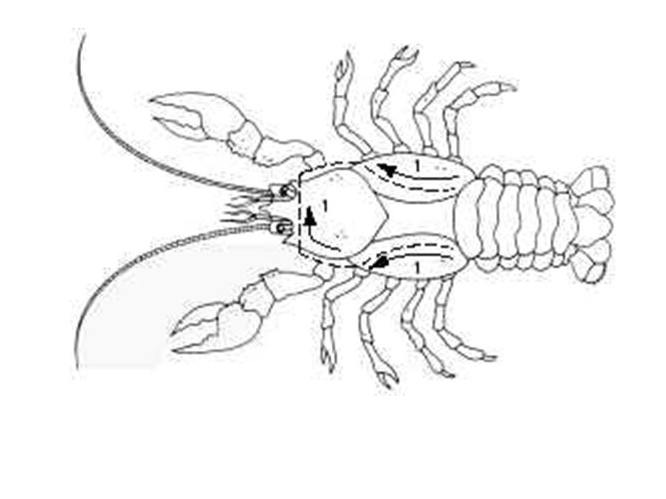 Circulatory System The crayfish has an open circulatory system